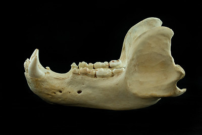 Lateral View Mandible Kodiak Brown Bear