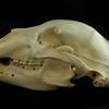 Lateral View  Kodiak Brown Bear Skull
