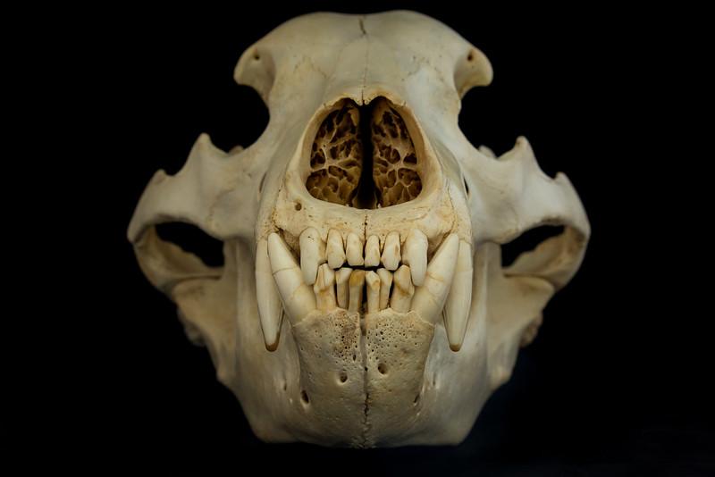Anterior View Kodiak Brown Bear Skull