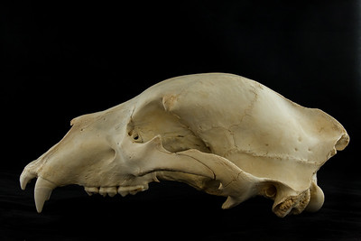 Lateral View Kodiak Brown Bear Skull