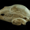 Lateral View Kodiak Brown Bear and Wolverine Skulls