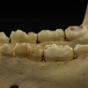 Lateral View Kodiak Brown Bear Posterior Mandibular Teeth