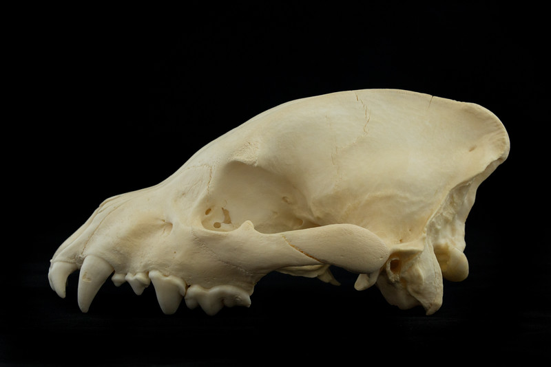 Lateral View Spotted Hyena Skull