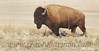 This bull struck the iconic pose! You know the one, the one where the bull does exactly like the bull in this photograph is doing … majestic … looking out over the plains! C'mon! You have to know the pose! Haven't you ever seen a Buffalo Nickel!