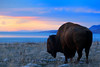 A large bull Buffalo watches the setting sun from the shores of Antelope Island in the Great Salt Lake.