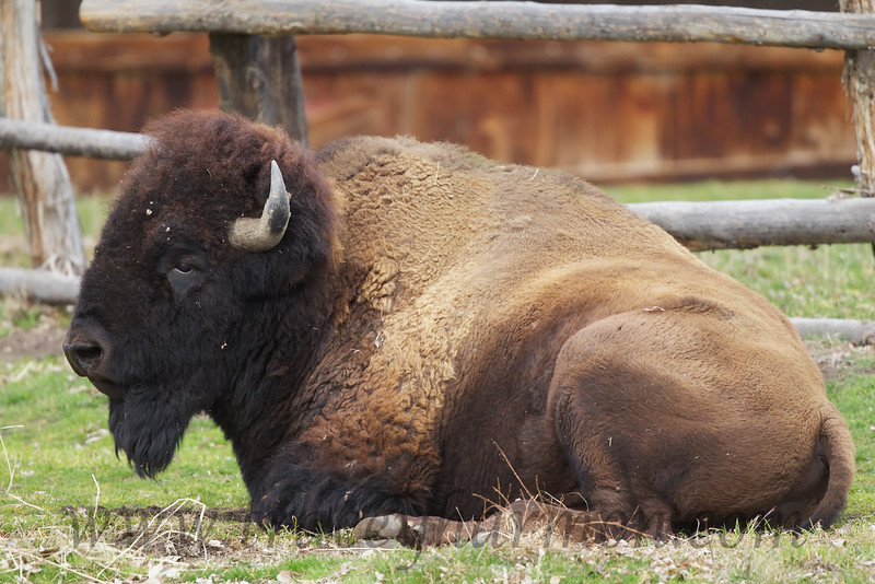 I photographed this massive old bull outside the old corral of the Fielding Garr Ranch on Utah's Antelope Island.
