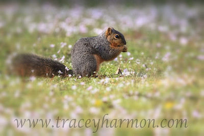 "I photographed this Fox Squirrel as it enjoyed a few ""Spring Peeper"" flowers on a warm spring day in southeastern Oklahoma."