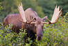 If you look closely at this bull Moose' antlers you will see blood stains, which indicates he has just recently shed his velvet.