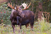 Though this bull Moose does not have the largest set of antlers I have ever seen, he certainly makes up for any short-comings in body size. This guy was a tank!