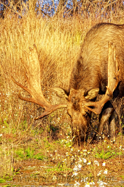 This bull Moose, bathed in a golden light, is searching for the last remaining greenery of the year.