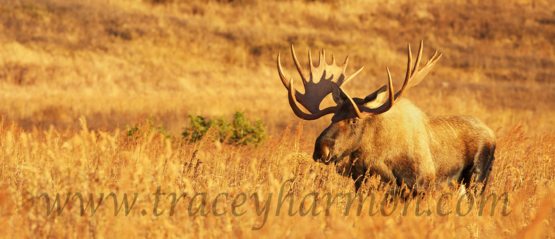 """Though I know this may sound a bit odd to some, all I can think when I look at this photo is, """"there is nothing better looking than a large sun-bathed bull Moose in a sea of fall grass""""."""
