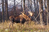 This large bull Moose seemed content to stand dozing alone the forest's edge.