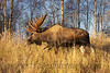 A large bull Moose makes his way towards a favorite feeding area in Anchorage, Alaska.