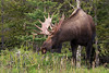 This bull Moose is enjoying a bit of Vetch after having shed the velvet on it's antlers.