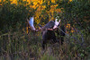 Nothing like running into a large rut-crazed bull Moose when taking a late evening short cut through an alder thicket!