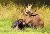 Though Moose have a thick hide and a lot of hair, they still enjoy a sunbeam while lounging about!