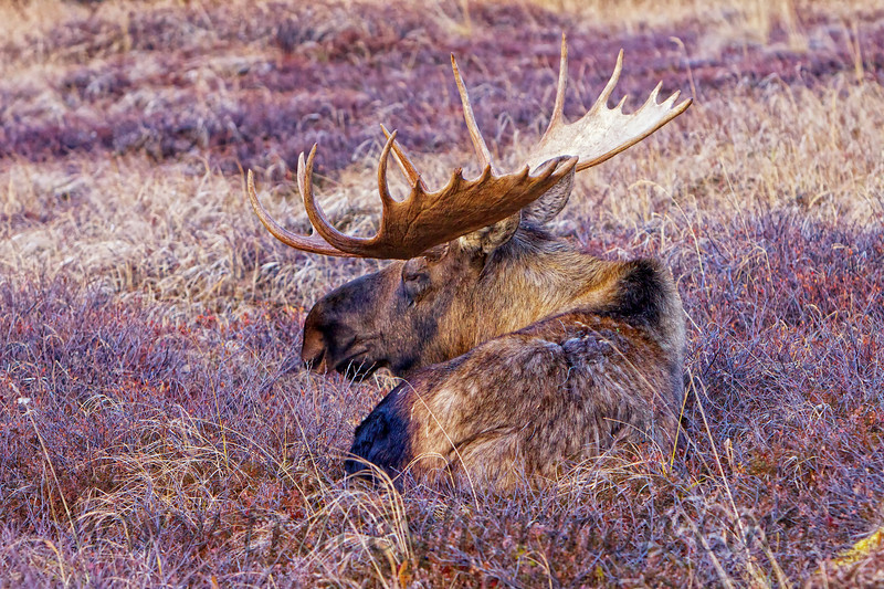 This bull Moose has ran himself ragged over the rut. He was so tired he bedded down in front of me, and eventually was fully laid out snoring!