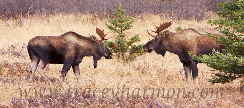 These young bull Moose are displaying to each other in order to determine which is dominant.