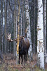 This small bull Moose, which I located right at dark, was busy rubbing the bark off a Quaking Aspen Tree.