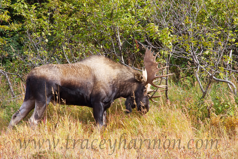 This bull Moose is brush thrashing; an action which displays his vigor, lets off a bit of steam, and polishes his antlers.
