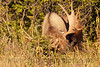 This bull Moose is thrashing the brush, announcing to the world his presence and vigor!