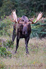 I photographed this Alaskan bull Moose as he wandered the area looking for a receptive cow.