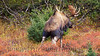I photographed this bull Moose as he urinated in a shallow pit he just pawed out. His hormone laden urine tells cows he is mature and ready to sire their calves!