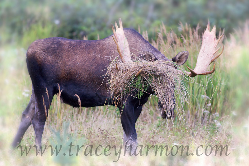 """This bull Moose violently thrashed the area around him. He tore alders from the ground. He bull-dozed the earth. He tossed bales of grass to the wind. Yet when all was done I had to have a laugh, because at that point it came down to...""""Hey! Who turned out the lights!""""."""