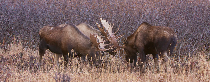 """This trio of bull Moose were busy trying to decide who """"owned"""" the cow. She wandered off while they discussed it."""