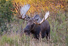 "This bull Moose is ""head rocking"", displaying his antlers to a rival. This show of size is usually all that is needed to send a lessor bull on it's way!"