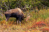 "This bull Moose is brush-thrashing springy alders. Though not as active as a sparring partner, they give more ""action"" than most shrubs!"