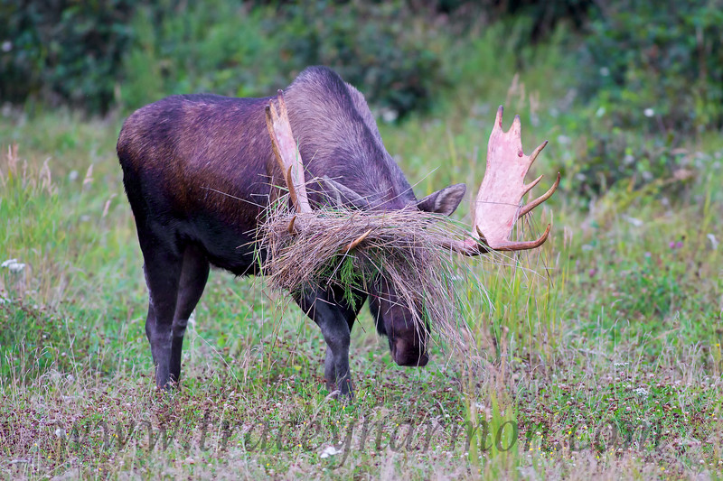 """Though this bull Moose heard it a thousand times from his Mother, """"if you thrash grass you'll go blind"""", he did it anyway!"""