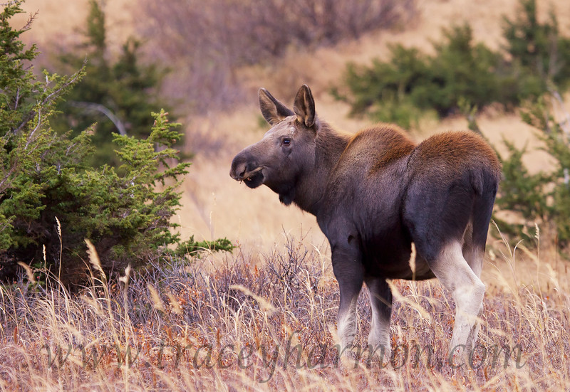 """A """"young of the year"""" (born in May) Moose calf keeps close tabs on nearby rutting Moose."""
