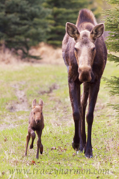 This cow Moose has relaxed as she sees me backing away from her as she and her new calf head my direction.