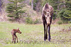 This very young calf Moose had been trotting closely by his Mother's side but somehow managed to get a whole 6' from her, which caused the young calf to look around for Mom!