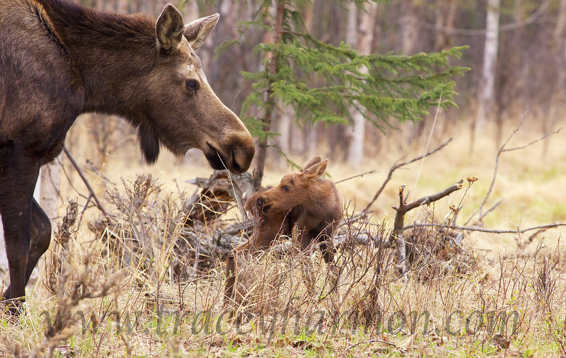 Cow Moose check on their calves often in the first few days of their lives.