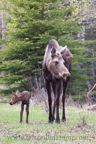 I photographed this pair of Moose in Anchorage, Alaska. Here they are looking both ways before they cross the street! Don't pooh-pooh me! I have seen a number of Moose look both ways before crossing a street here in Anchorage. They may look dense but they can learn!