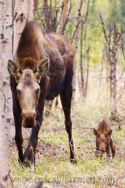 When I first located this cow Moose she kept a wary eye on me, but was soon at ease since I identified myself as human, kept a respectable distance, and never made a threatening move towards the pair.