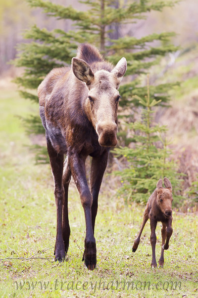 Now that I have spent a few minutes with this cow Moose, and her new calf, she has accepted my presence as non-threatening, and allows me to photograph without showing any signs of stress.