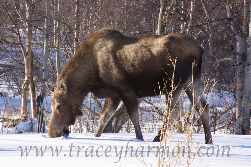 Moose are obligated to eat snow during an Alaskan winter as open water is not to be found.