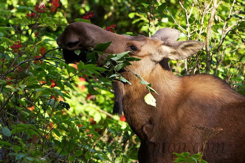 I photographed this cow Moose is stripping leaves from an Alder in Anchorage's Kinkaid Park.