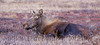 This cow Moose is taking a break from the rut by catching a few minutes sleep on the tundra above Anchorage, Alaska.