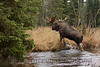 Look at the body on this brute of a bull Moose!