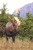 This bull Moose is watching the approach of a smaller bull.