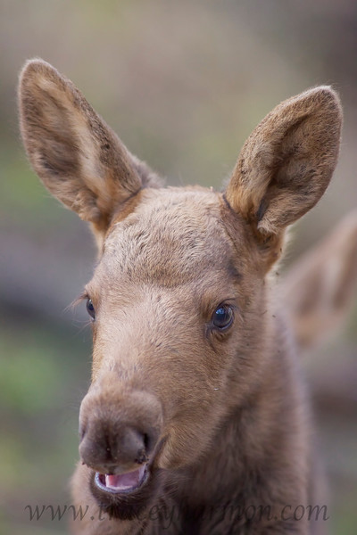 If a calf Moose calls, as this one is, the cow is on the way. Never get between a cow and it's calf, no matter how docile the cow appears and/or the calf acts. Many of those that have done so have been hurt quite seriously. A cow Moose is nothing to trifle with!