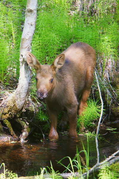 A very young Moose calf foregoes milk and gives water a try!