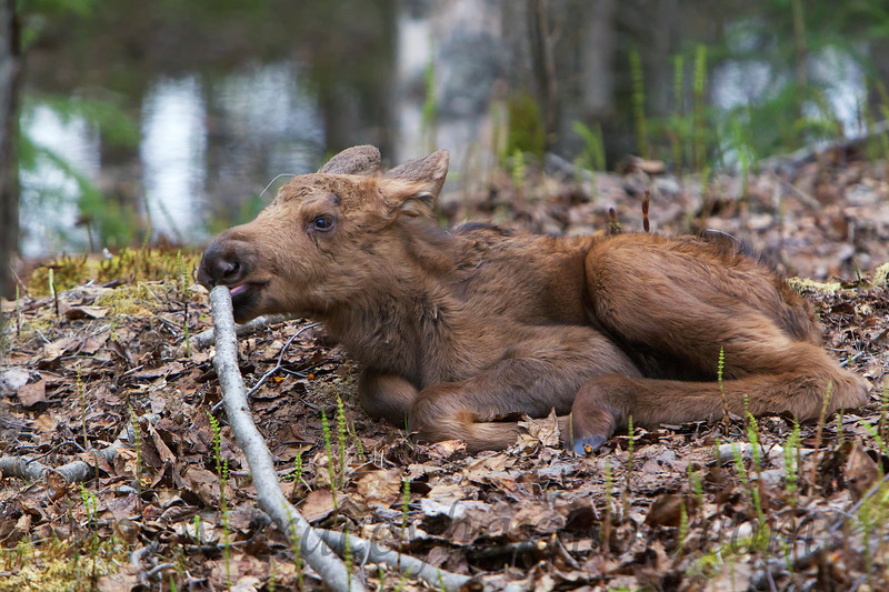 Like most babies, everything goes in a new Moose's mouth. After all, one doesn't know if it's good to eat unless one gives it a taste!