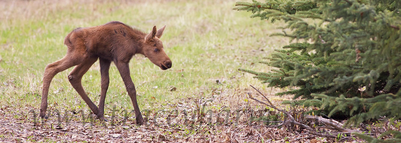 A newly minted Moose takes it's first exploratory steps into the world!