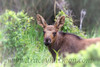 This young Moose is more interested in me, and my camera, than browsing.