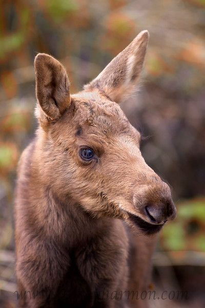 A days old Moose calf watches it's sibling explore while their mother feeds nearby.